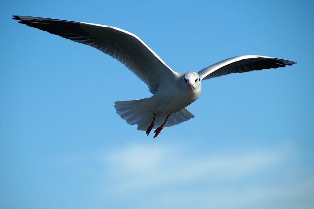 gull, bird, tern
